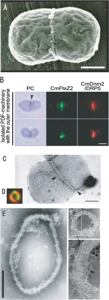 Electron micrograph (A: SEM, C, E, F: TEM) and phase contrast (PC in B) and fluorescence micrograph (cmFtsZ, cmDnm in B, D) of isolated plastids with pt-division machineries (A–C) and isolated pt-division machineries (D, E, F). A. The image shows a dividing plastid with pt-division machinery at the center of the plastid. B and C. The pt-division machineries with the outer membrane are a chimera of bacterial FtsZ (CmFtsZ), dynamin (CmDnm2), and PD rings (arrow head in C). D, E, and F. Isolated pt-division machineries are composed of a bundle of fine filaments (enlarged image in F) and contained dynamin (small gold particles in F) and FtsZ (large gold particles in F). Scale bars: 1 µm (B), 0.5 µm (A, C, E), and 0.1 µm (F). A is from Ref. 3, B, C, D and F are from Ref. 28, E is from Ref. 3.