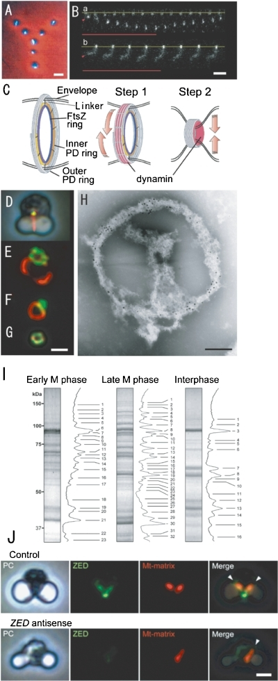 "Phase contrast/fluorescence (A, D, J). phase-contrast (J), fluorescence micrographs (B, E. F, G, J) of isolated mitochondria (A), pt-division machineries (B), complexes of mt- and pt-division machineries (D, E, F), mt-division machinery (G), mitochondria and ZED (J), contraction model of pt-division machineries (C), an electron micrograph of the complex of isolated mt- and pt-division machineries (H), and SDS-PAGE (I). A. Physarum mitochondria with m-nuclei (bright rods) were drawn up in a ""Y"" image using optical tweezers. B. Manipulation of intact PD division machinery of C. merolae (a) and a dynamin-released PD division machinery (b) with the optical tweezer. The base line of one end of each of the pt-division machineries is fixed to the cover glass (yellow lines), while the other end is trapped by the optical tweezers (arrowheads) and an infrared laser (red lines). C. The schema shows a contraction model of pt-division machineries. In the first step, the dynamin molecules (red) drive the sliding of the fine filaments. In the second step, dynamin moves from the surface to the inside and pinches off the narrow bridge between daughter plastids. D. Mt-division machinery (yellow) is associated with pt-division machinery (red) in intact dividing cells. E and F. The bulk of isolated mt-division machinery (green) adheres to the pt-division machinery (red). G. Isolated mt-division machinery is a small ring. H. Immuno-electron micrograph showing the distributions of Mda1 and dynamin (Dnm2) in isolated mt- (large gold particles) and pt- (small gold particles) division machineries after negative staining. I. SDS-PAGE images of isolated PD machineries were compared with the interphase fraction (right). Proteins of isolated mitochondrial and plastid division machineries from cells in early M-phase (left), later M-phase (middle), and inter-phase (right) were separated by SDS-PAGE. J. In cells with transient DNA introduction and expression of ZED promoter without antisense-ZED, mitochondrial division (red) occurred normally (control). Plastid division occurred normally (phase contrast, PC), but mitochondrial division did not occur in ZED (blue)-downregulated cells (ZED antisense). Scale bars: 1 µm (A, B, G, J), 0.2 µm (H). B and C are from Ref. 28, D–J are from Ref. 30."