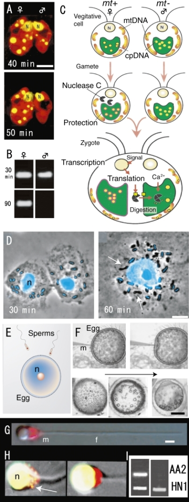 Fluorescence micrographs of living young zygotes of C. reinhardtii (A), gametes and a zygote of P. polycephalum (D), sperm mitochondria of Oryzias latipes (G, H), patterns of nested PCR after mating (fertilization) of C. reinhardtii (B) and O. latipes (I) and models of active digestion of male plastid DNA (C), fertilization of vertebrate (E) and process of microinjection and the development of injected eggs (F). A. Preferential disappearance of male plastid nuclei (yellow) visualized in a SYBR Green I stained living zygote 50 min after mating. B. Male gamete plastid DNA is digested within 90 min after mating. C. During gametogenesis, nuclease C is synthesized or activated only in female (mt+) cells. At the same time, female plastid DNA becomes resistant to the action of nuclease C. During gamete fusion, nuclease C obtains access to unprotected male plastids and digests the male plastid DNA, leading to maternal inheritance of plastid DNA. Several factors might mediate the successful digestion of male plastid DNA after zygote formation. D. Each amoeba contained about 12 mitochondria and each mitochondrion was characterized by the rod shaped mt-nucleus at its center (blue in D). 1 hr after nuclear fusion, mt-nucleus fluorescence completely disappeared in about half of the mitochondria in the zygote (arrows). E. A large egg fertilizes with a sperm. F. After injection, the eggs remained intact and progressed through normal developmental stages. G and H. Phase-contrast and SYBR green I-MitoTracker double-stained images showed mitochondria (red) in sperm before (G) and sperms in fertilized egg (H) after fertilization. Sperm mitochondrial nuclei (yellow) disappeared completely 60 min after fertilization (right). I. Single sperm with or without mitochondrial nuclei was selectively extracted from fertilized eggs using optical tweezers and analyzed by nested PCR. Sperm and eggs were derived from AA2, and the HNI PCR product was added to each reaction as an internal control. Active digestion of sperm mitochondrial DNA (AA2) occurred 60 min after injection into eggs (right). N and n, cell nuclei. Scale bars: 0.5 mm (F), 5 µm (A, D), and 1 µm (G). Scale bars = 1 µm. A and B are from Ref. 36, C is from Ref. 37, D is from Ref. 39, F-I are from Ref. 40.