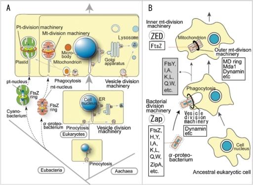 the origin of eukaryotic cells On the origin of mitosing cells (1967), by lynn sagan on the origin of mitosing cells by lynn sagan appeared in the march 1967  origin of eukaryotic cells.