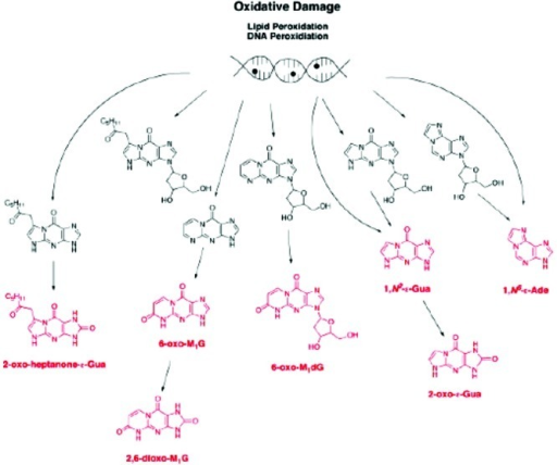 Summary of products of metabolism of exocyclic DNA adducts.The final products are indicated in red. Reproduced from ref (69). 2009. American ChemicalSociety.
