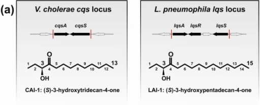Genetic organization of the V. cholerae (cqs) and L. pneumophila (lqs) QS locus, and biosynthesis of AIs produced by CqsA and LqsA. (a) The cqs and lqs loci harbour AI synthases (cqsA, lqsA), cognate sensor kinases (cqsS, lqsS) and a response regulator (lqsR). AI molecules synthesized by V.chCqsA and L.pnLqsA: (a) CAI-1 and LAI-1 AHKs, and (b) C3-amino-derivatives of CAI-1 (Am-CAI-1 and Ea-CAI-1). (c) Biosynthesis of CAI-1 and C3-amino-derivatives by PLP-dependent V. cholerae and V. harveyi CqsA and presumably L. pneumophila LqsA using (S)-3-aminobutyrate (SAB) or (S)-adenosylmethionine (SAM) and acyl-CoAs. V.chCqsA utilizes decanoyl-CoA (C10) or octanoyl-CoA (C8) to produce Am-CAI-1/Ea-CAI-1 (C13) or Am-C8-CAI-1/Ea-C8-CAI-1 (C11). Ea-CAI-1 is converted into CAI-1 by spontaneous hydrolysis and a dehydrogenase. The intermediate Am-CAI-1 is converted into CAI-1 by an unknown mechanism. V.haCqsA utilizes only octanoyl-CoA to yield Am-C8-CAI-1/Ea-C8-CAI-1 and C8-CAI-1 (C11). Synthesis of LAI-1 (C15) by L.pnLqsA is not elucidated, but might use SAM (or SAB) and dodecanoyl-CoA (C12).