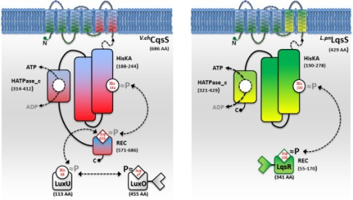 Signal transduction by the V. cholerae CqsS and L. pneumophila LqsS sensor kinases. V.chCqsS and L.pnLqsS are six trans-membrane helix sensor kinases with C-terminal cytoplasmic signal transduction domains. Predicted sub-domains (amino acids in parenthesis): HisKA (histidine kinase A domain with conserved histidine phospho-acceptor site), HATPase_c (catalytic ATP binding and transferase domain, C-terminal); REC (receiver domain with conserved aspartate). CqsS is a hybrid histidine kinase coupled to a phosphorelay system. The HisKA/HATPase_C domain catalyzes the autophosphorylation by ATP at H194 and the phosphotransfer to D618 in the REC domain. The phosphoryl group is then shuttled via the orphan phosphorelay protein LuxU (H58) to the REC domain of the response regulator LuxO (D47). In LqsS, after phosphorylation of H200, the phosphate is presumably transferred to D108 in the REC domain of the response regulator LqsR. CqsS and LqsS are likely bifunctional kinases/phosphatases.