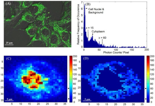 (A) A sample confocal image showing the distribution of mitochondria. MLL cells were stained with 100 nM of MitoTracker® Green, as indicated by the green color. (B) Histogram (photon count per pixel) used for segmentation of FLIM images. Based on the morphological features shown in confocal images, the main peak corresponds to the lower pixel intensities from the cell nuclei, and the minor peak corresponds to the intensities from the cytoplasmic region, as indicated by the arrows and the range covered by the dashed lines. (C) Original intensity image of a single cell. The cell was stained with Photofrin® for 4.5 hours, when Photofrin® presented at both mitochondrial and cytoplasm regions. Note the image was from a small area of a field of view, therefore the image seems pixelated. The thresholds used to segment the cytoplasmic region were marked by the black arrows on the color bar (D) The segmentation was performed based on the morphological features and histogram, where signals with intensity > 60 counts/pixel (mitochondria) and < 15 counts/ pixel (cell nucleus and background) were eliminated.
