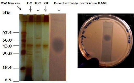 Tricine-PAGE of ACP purification fractions and gel overlay with C. albicans (MTCC 183). Lane 1, molecular weight marker. Lane 2, dialyzed concentrate after 85% ammonium sulfate fractionation. Lane 3, pooled active fractions collected through DEAE Sepharose matrix. Lane 4, silver stained fractions after gel filtration using Sephadex-G 75. Lane 5, Inhibition zone by antimycotic protein (ACP) on the overlay gel.