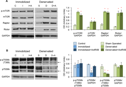 Dysregulation of mTOR signaling in both disuse and denervation atrophy. Western blot analysis of TA muscle protein lysates. (A) Expression levels of the components of the mTOR complexes, including p-mTOR, total mTOR, raptor and rictor, were not different between control ('C'), immobilized ('I') and ActRIIB-treated immobilized ('I+A') mice. Denervation ('D') and denervation with ActRIIB treatment ('D+A') led to a substantial increase in p-mTOR, total mTOR, raptor and rictor when compared with sham-operated controls ('S'). (B) Immobilization resulted in a decrease of p70S6k expression but not when the mice were treated with ActRIIB. Denervation led to a decrease in active phosphorylation of p70S6k with no loss of total protein expression and this was not prevented by treatment with ActRIIB. Quantitative analysis of blots is displayed in the graphs (right) with arbitrary units of mean ± s.e.m. *P<5.0×10−2 with respect to controls. Lines indicate where intervening lanes have been removed from a single image to show the most representative band for that treatment group. Arrows in B indicate the correct size of p70S6k.