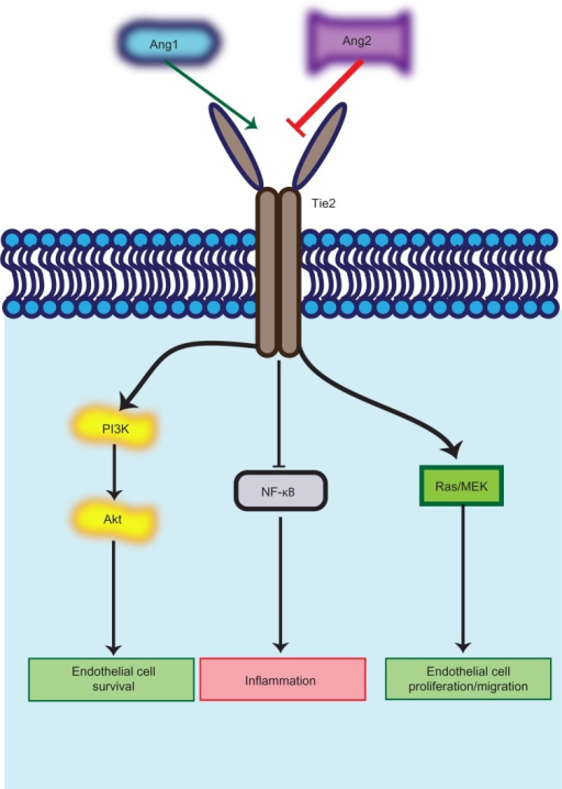 Angiopoietin (Ang)/Tie2 pathway and its role in vascular remodeling. Ang1 binding to the Tie2 receptor activates prosurvival pathways, decreases endothelial cell permeability, and stabilizes vessels by recruiting pericytes. Ang2 acts antagonistically to the Ang1/Tie2 binding, promoting sprouting angiogenesis through facilitating vascular endothelial growth factor-dependent proangiogenic pathways.