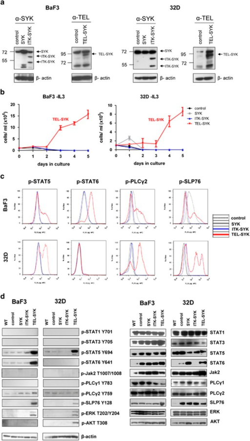 TEL–SYK exclusively induces factor independency and STAT5/6 phosphorylation in myeloid and B-lymphoid cells. (a) Expression of SYKwt, ITK–SYK and TEL–SYK after retroviral infection and GFP-sorting of the IL-3 dependent cell lines BaF3 and 32D. For detection of SYKwt and ITK–SYK by western blot, a primary SYK antibody was used. For detection of TEL–SYK, we used a TEL antibody. (b) Growth curves for IL-3-depleted BaF3 and 32D cells expressing the different oncogenes over 5 days were performed by counting Trypan blue negative cells via Neubauer chamber. (c) Intracellular phospho flow cytometry for phosphorylated STAT5/6, PLCγ2 and SLP76 in BaF3 cells (upper panel) and 32D cells (lower panel) expressing the different constructs. (d) Western blot of BaF3 and 32D cells expressing either control vector or the different SYK oncogenes with antibodies against phosphorylated STATs, PLCγ, JAK2, SLP76, ERK and AKT. Left panel shows the phosphorylated protein, right panel the total protein.