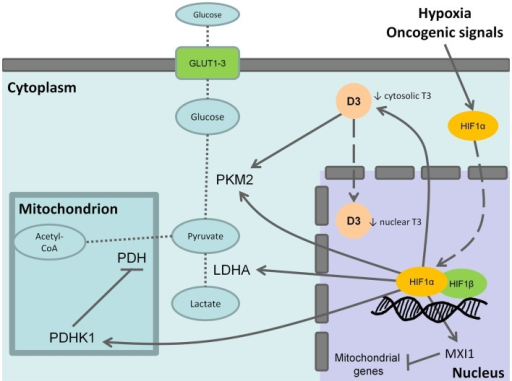 Effects of type 3 deiodinase expression on Warburg phenotype. Hypoxia or oncogenic signals inhibit HIF-1a degradation and stabilize the nuclear association between HIF-1a and HIF-1b resulting in the transactivation of HIF-1 target genes. The activation of the M2 isoform of pyruvate kinase (PKM2), lactate dehydrogenase A (LDHA), and of the pyruvate dehydrogenase kinase 1 (PDHK1) that, in turn, inhibits the mitochondrial pyruvate dehydrogenase (PDH) shunts cell metabolism from the mitochondrial respiration toward the fermentative glycolysis. Furthermore, the induction of max interactor 1 (MXI1), a transcriptional target of HIF-1 complex, inhibits mitochondrial biogenesis through the downexpression of nuclearly encoded mitochondrial genes. The coexpression of type 3 deiodinase (D3) decreases cytosolic triiodothyronine (T3) levels resulting in the activation of PKM2. It is also possible that D3 translocates from cytoplasm to the cell nucleus mediating nuclear thyroid hormone inactivation and local hypothyroidism. Bold arrows indicate activation, whereas the blunted lines indicate inhibition. Dashed arrows indicate protein translocation between cellular compartments. Dotted lines indicate the pathway reactions.