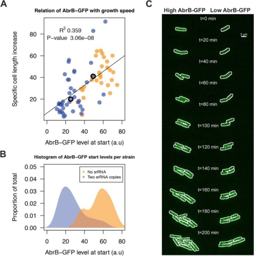 RnaC/S1022-induced variation in AbrB-GFP levels leads to heterogeneity in growth rates.A) Tracing of growth and AbrB-GFP levels of 71 individual micro-colonies from Δspo0A AbrB-GFP strains with either zero or two chromosomal copies of RnaC/S1022. Data originates from three independent experiments. Cell growth is expressed as the cell length (Feret's diameter) increase per hour as determined in the first 20 min after spotting of the cells onto agarose slides. The plotted AbrB-GFP level is the average of fluorescence in the first and second picture. B) Distribution of AbrB-GFP start levels for both strains. Note that two genomic RnaC/S1022 copies lead to a wider distribution of AbrB-GFP levels. C) Montage of the two adjacent dividing cells from the S1 Movie. The white outline marks the contours of the cell. The positions of these cells in panel A are marked with an O. Individual cells were cropped for illustration purposes only.