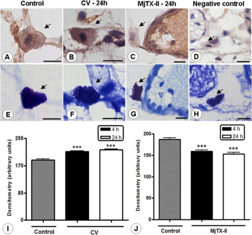 Light micrographs of rat mesenteries showing AnxA1 immunoreactivity in the mast cells.AnxA1-positive mast cells in the control group (A). After 24 hours, the administration of CV and MjTX-II was associated with intense (B) and low (C) AnxA1 immunoreactivity in mast cells (arrows), respectively. Negative control of reaction (D). Counterstain: hematoxylin. Stained adjacent histological sections with 0.5% toluidine blue confirms that the indicated cells are mast cells (arrows; E-H). Scale bars: 5 μm. Densitometric analysis of mesenteric mast cells immunostained for AnxA1 in CV (I) and MjTX-II (J) groups. The values (arbitrary units) are expressed as the mean ± SEM of sections analyzed from 5 rats /group. ***P < 0.001 vs control.