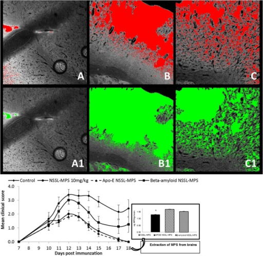 Comparison of passively targeted NSSL and actively targeted peptide-conjugated NSSL.(A) Representative fluorescent microscopy images comparing brain accumulation of NSSL and their payload as is (A, A1), β-amyloid NSSL(B,B1), and ApoE NSSL (C,C1) in healthy mice brain showing an increase in the amount of actively targeted NSSL and their payload accumulating, compared to passively targeted NSSL. (B) Comparison of the therapeutic efficacy of passively targeted NSSL-MPS and actively targeted peptide-conjugated NSSL-MPS in the acute EAE mice model. SJL mice were treated by IV injections on days 10, 12, 14 post-immunization with saline (control) (◆), NSSL-MPS (●), Apo-E NSSL-MPS (▲) or β-amyloid NSSL-MPS (■). * p-value < 0.0001.