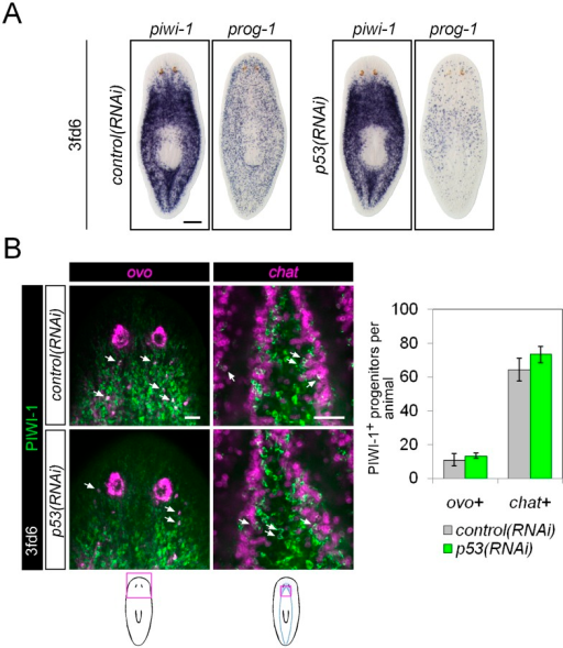 Differentiation in p53(RNAi) animals.(A) Stem cell (piwi-1) and epithelial progenitor (prog-1) populations were examined by WISH in RNAi animals. Scale bar, 200 μm. (B) Eye and neural lineage-restricted neoblast progeny were quantified in RNAi animals by FISH (ovo, eye; chat, brain) with PIWI-1 immunolabeling. Arrows indicate example double-positive cells. Scale bars, 50 μm.DOI:http://dx.doi.org/10.7554/eLife.07025.019