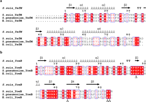 Multiple sequence alignments of the S. suis YefM-YoeB system with related homologs.The image was generated using program ESPript 3.0 (http://espript.ibcp.fr/ESPript/cgi-bin/ESPript.cgi). Identical residues are shown as white letters with red background, and similar residues are shown as red letters with white background. The predicted secondary structures of S. suis YefM and YoeB are shown at the top. α: α-helix; β: β-sheet; η: coil; T: turn. (a) Alignment of the YefM protein family. The GenBank accession numbers are as follows: S. suis YefM, YP_003025797.1; S. pneumoniae YefM, NP_359178.1; and E. coli YefM, NP_416521.2. (b) Alignment of the YoeB protein family. The conserved residues required for YoeB activity are labelled with triangles (Δ). The GenBank accession numbers are as follows: S. suis YoeB, YP_003025796.1; S. pneumoniae YoeB, NP_359177.1; and E. coli YoeB, YP_588458.1.