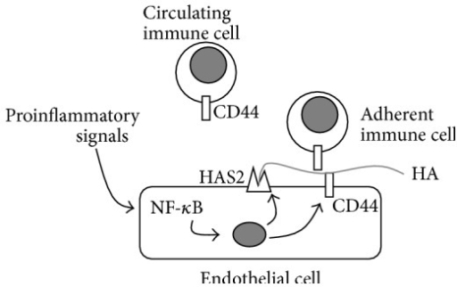 "Schematic representation of the regulation of HA synthesis in ECs and the effects on immune cell-EC adhesion. Through their receptors, proinflammatory signals (i.e., cytokines) trigger NF-κB pathway that regulates both HAS2 and CD44 (and other adhesive molecules such as ICAM-1, E-selectin, VCAM-1, and MHC class I genes) [38]. HAS2 synthesizes high molecular weight HA that interacts with CD44 present on both ECs and immune cells (i.e., leukocytes) in the ""sandwich model,"" which drives immune cells to adhere to ECs contributing to inflammation. Gray circle represents the nucleus."