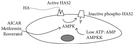 Schematic representation of the regulation of HA synthesis by AMPK in SMCs. Through the action of compounds such as AICAR, metformin, and resveratrol or by sensing ATP : AMP ratio or by the action of AMPK upstream kinases (AMPKK), AMPK phosphorylates HAS2 threonine 110 residue inhibiting HAS2 activity and reducing the HA production.