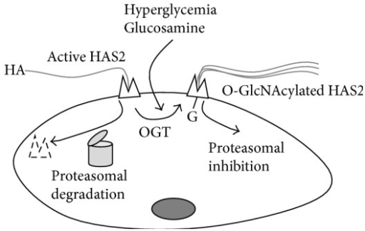 Schematic representation of the regulation of HA synthesis by OGT in SMCs. In normal conditions HAS2 in plasma membrane is active but can be rapidly degraded in a 26 S proteasome dependent manner. In hyperglycemic condition or after glucosamine treatments, OGT catalyzes the O-GlcNAcylation of HAS2 serine 221 residue, which greatly stabilizes HAS2 favoring HA production.