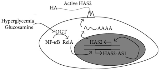 Schematic representation of the regulation of HAS2 expression by OGT in SMCs. In normal conditions, basal HAS2 and HAS2-AS1 expression are allowed. After the induction of O-GlcNAcylation (due to hyperglycemia or after glucosamine treatments), the NF-κB subunit RelA can be modified with O-GlcNAc by OGT. In the cell nucleus, glycosylated RelA can activate HAS2-AS1 transcription, which, in turn, changes chromatin structure around the HAS2 promoter (probably altering chromatin signature) favoring HAS2 expression leading to HA accumulation.