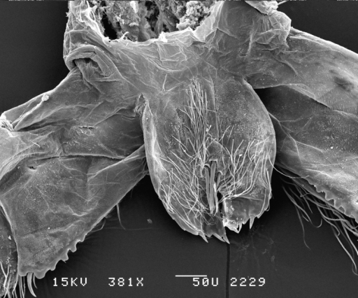 Leucothoeeltoni sp. n., SEM, male, maxilliped, 381×, Station Indo04-01c, Sulawesi, Indonesia.