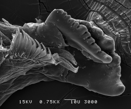 Leucothoeeltoni sp. n., SEM, male, left mandible, 400×; Station Indo04-01c, Sulawesi, Indonesia.