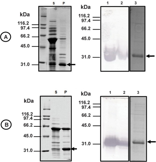 Expression and purification of Sfβgly-N and Sfβgly-C.Proteins from the soluble (lane S) and insoluble (lane P) fractions of bacteria (ArticExpress (DE3)) induced to produce Sfβgly-N (A) and Sfβgly-C (B) were analyzed by SDS–PAGE (12% polyacrylamide; Comassie Blue R250 staining), transferred to a nitrocellulose membrane and immuno-detected using anti-His6 antibody (lanes 1 and 2, respectively). Sfβgly-N and Sfβgly-C were purified from the respective soluble fractions using Ni-NTA agarose and analyzed by SDS–PAGE (lane 3; arrow; Comassie Blue R250 staining).
