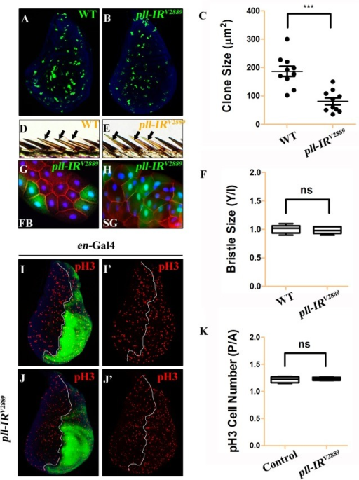 pll regulates cell number but not cell size in development.(A and B) Fluorescence micrographs of third instar larval wing discs with clones (marked by GFP) expressing no (A) or pll RNAi (B). Clones were induced by heat shock at 37°C for 1 hour and recovered at 25°C for 42 hours. Nuclei were labeled with DAPI (blue). (C) Quantification of clone size shown in A and B. Unpaired t test was used to calculate statistical significance, indicated with asterisks (*** P<0.001, n = 10 in each group). (D and E) Clones (marked by y-, yellow) expressing no (D) or pll RNAi (E) in adult wing margin bristles, 7 days after induction. (F) Quantification of bristle size as shown in D and E. The ratio of bristle size within clones (Y)/bristle size of internal control (I) remained unchanged when pll was knocked down in the clone. (G and H) Fluorescence micrographs of clones (marked by GFP) expressing pll RNAi in third instar larval fat body (FB, G) and salivary gland (SG, H) 42 hours after induction. Nuclei were labelled with DAPI (blue), cell membranes were stained by anti-Dlg antibody (red). (I and J) Fluorescence micrographs of wing discs are shown. The P compartment was labelled by GFP, while cell proliferation was detected by anti-pH3 staining (red) (I' and J'), nuclei were labelled with DAPI (blue). (K) Quantification of pH3 positive cells shown in I and J. The P/A ratio of pH3 positive cells remained unchanged when pll was knocked down in the P compartment. ns stands for not significant. For all wing discs, anterior is to the left and dorsal up. Detailed genotypes: (A and D) y w hs-Flp/+; act>y+>Gal4 UAS-GFP/+ (B, E, G, H) y w hs-Flp/+; act>y+>Gal4 UAS-GFP/UAS-pll-IRV2889 (I) en-Gal4 UAS-GFP/+ (J) en-Gal4 UAS-GFP/UAS-pll-IRV2889.