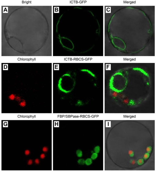 Subcellular localization of ICTB and FBP/SBPase protein.A, Bright field view of protoplasts. B, GFPsignals from the ICTB-GFP fusion protein. C, Merged images.D, Red chlorophyll autofluorescence used as achloroplast marker. E, GFP signals from the ICTB-RBCS-GFPfusion protein. F, Merged images. G, Redchlorophyll autofluorescence. H, GFP signals from theFBP/SBPase-RBCS-GFP fusion protein. I, Merged images, withyellow fluorescence in the merged images due to red chloroplastautofluorescence.