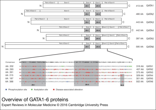 Overview of GATA1-6 proteins. The GATA proteins are depicted in the upper part of thefigure. The GATA proteins are aligned according to the location of the zinc fingers(ZNI and ZNII). The exon boundaries are depicted above the protein structure. ForGATA4 the TADI and TADII are shown. In the lower part of the figure the regions aroundthe zinc fingers are enlarged, with the correspondingAA numbers written next to theGATA sequence. Posttranslational modification (post-transciptional modification) sitesand disease-associated alterations are marked on top of the corresponding AA. AA,amino acid; TAD, transcriptional activation domains.