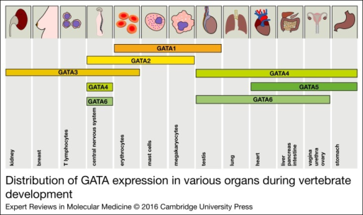 Distribution of GATA expression in various organs during vertebrate development.The expression of all GATA factors is depicted in the corresponding tissues. Thedistribution of the expression patterns roughly reflects the two GATA subgroups(GATA1/2/3 versus GATA4/5/6).