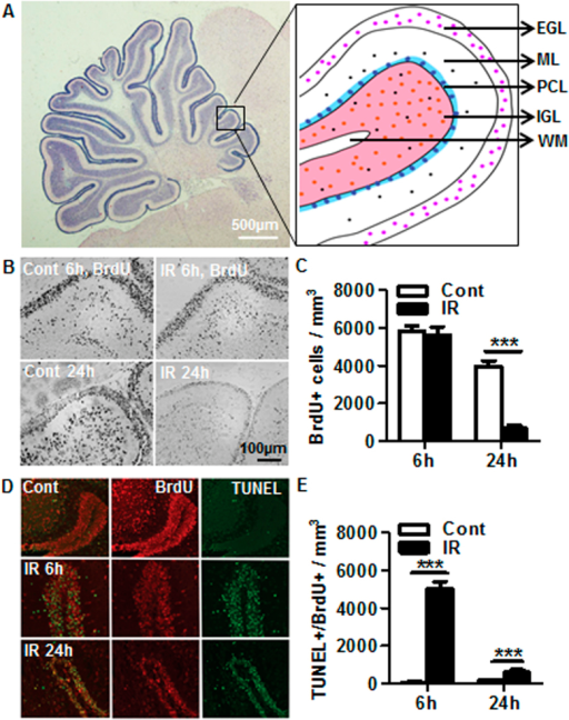 Irradiation-induced newborn cell death.(A) Representative folia of the cellular layers in the juvenile cerebellum. (B) Representative BrdU staining in the EGL of the cerebellum. (C) Quantification of BrdU-labeled cells showed no difference at 6 h, but the numbers were reduced by 82.9% at 24 h after irradiation compared to the controls. (D) Representative BrdU and TUNEL double labeling in the EGL of the cerebellum. (E) Confocal quantitative analysis of BrdU and TUNEL double-positive cells. n = 4 for control and n = 6 for irradiated. EGL: external germinal layer; ML: molecular layer; PCL: Purkinje cell layer; IGL: internal granule layer; WM: white matter. ***p < 0.001.
