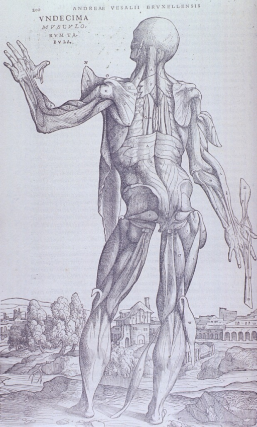 <p>Full body, back view of muscles. Right arm is extended downward and there is a muscular extention protruding up from the thumb and down through the middle finger. The left arm is bent at the elbow with forearm facing upward.</p>