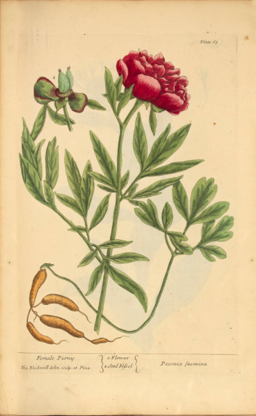 <p>Illustration of the flower and seed vessel of a peony plant.</p>