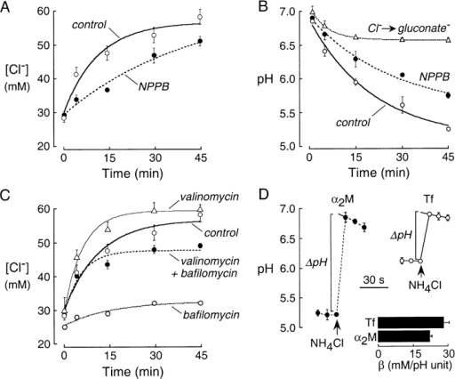 Role of Cl− conductance in endosomal acidification. (A) Inhibition of endosomal Cl− conductance by NPPB. Kinetics of endosomal [Cl−] was determined as in Fig. 4 A (right) in PBS (control) and 100 μM PBS-containing NPPB (n = 4 sets of experiments). (B) Kinetics of endosomal acidification as in Fig. 4 B (right; n = 4). Where indicated, 100 μM NPPB was present in the incubation solution and perfusate. Where indicated, Cl− was replaced by gluconate for 2 h before experiments and during measurements. (C) Time course of endosomal [Cl−] was determined as in Fig. 4 A (right), where 10 μM valinomycin and/or 200 nM bafilomycin were present in the incubation solution and perfusate. (D) Representative measurements of endosomal buffer capacity showing the prompt increase in endosomal pH after addition of NH4Cl to the perfusate.