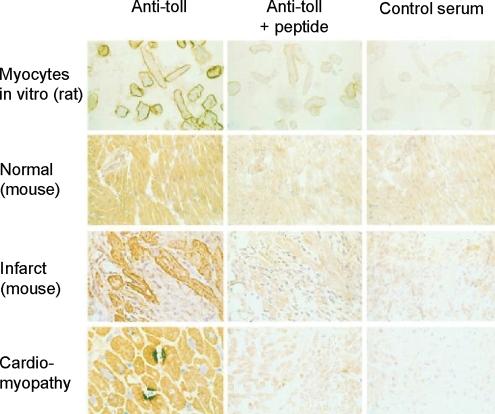 adult rat myocytes