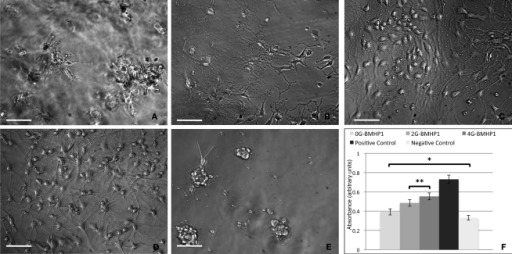 "Phase contrast images of differentiating neural stem cells (7 days in vitro) over the tested scaffolds. (A) 0G-BMHP1, (B) 2G-BMHP1, (C) 4G-BMHP1 SAPeptides. (D) Positive and (E) negative controls. 4G-BMHP1 coaxes NSCs to differentiate and survive most effectively while, in case of 0G-BMHP1, small clusters of poorly adhered NSCs testify a possible poor availability of the BMHP1 functional motif for cell membrane receptor binding and consequently cell differentiation pathways activation. Additionally, the ""sinking"" of NSCs within the assembled scaffold of 0G-BMHP1 (A) testifies a possible lower mechanical stiffness insufficient to bear the weight of NSCs seeded over the top surface of the substrate. Scale bars are 100 μm. CellTiter results (F) show significant differences for all possible coupled experimental groups (P < 0.05) except for (*) 0G-BMHP1 vs negative control, and (**) 2G-BMHP1 vs 4G-BMHP1. Values are reported as means ± standard error of the mean."