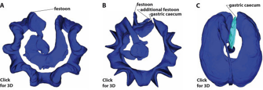 "Homology of the sea urchin gastric caecum based on its location as a primary criterion. (A-C) Interactive 3D PDF models of the digestive tract of two ""regular"" [Eucidaris metularia (A), Diadema savignyi (B)] and one irregular [Echinoneus cyclostomus (C)] sea urchin species. Left-click onto each of the three images in order to activate the embedded 3D models. Labeling designates the structures we consider homologous. Note that the 3D model of Diadema savignyi (B) depicts a modelling artefact due to the close proximity of esophagus and rectum: both structures seem to be fused, although they are clearly not in reality. Please refer to [88-90] for an in-depth explanation of how to manipulate and generate publication-embedded 3D PDF models. This interactive 3D figure requires Adobe Reader 8.0 or higher to operate. Not to scale."