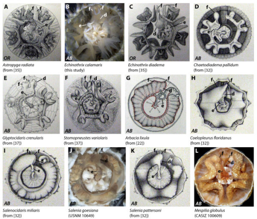 "Digestive tract anatomy of selected ""regular"" sea urchin taxa (Diadematidae - Temnopleuridae). Diadematidae (A-D), Glyptocidaridae (E), Stomopneustidae (F), Arbaciidae (G, H), Saleniidae (I-K), and Temnopleuridae (L). (G) from [22, Fig. 2, Pl. II] - reproduced in modified form with kind permission from L'Institut Océanographique, Fondation Albert Ier, Prince de Monaco. AB = aboral view, LA = lateral view, OR = oral view. d = dilation, e = esophagus, f = festoon. Not to scale."