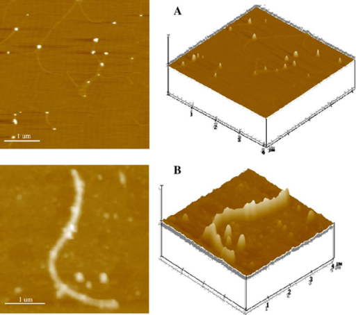 Typical AFM images of nano PLA/Au polymer nanofibers (a) and PLA/Au nanocomposites conjugated with daunorubicin (3.30 × 10-4 M) (b). Z Scale: 200 nm.