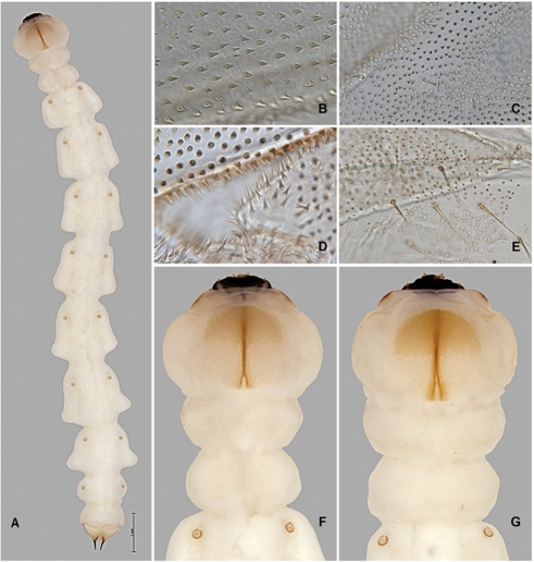 Agrilus planipennis instar IV including prepupa.A, instar IV, dorsal view; B, prepupa, thoracic microspinulae; C, prepupa, thoracic microspinulae and setae; D, prepupa, microdenticles (top), microsetae (bottom); E, prepupa, pleural region of abdomen, setae and microspinulae; F, instar IV, dorsal view, detail of peristome, pro-, meso-, metathorax, and 1st abdominal segment with spiracles; G, prepupa, same as F.