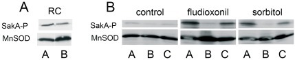The role of TcsC in the phosphorylation of SakA.Protein extracts of resting conidia (RC)(panel A) and germlings (panel B) were analyzed by immunoblot using specific antibodies to phosphorylated SakA and as a loading control mitochondrial MnSOD. Extracts were prepared from germlings treated with 10 µg/ml fludioxonil and 1.2 M sorbitol for 2 and 20 min, respectively. A: parental strain AfS35, B: ΔtcsC mutant, C: complemented mutant.