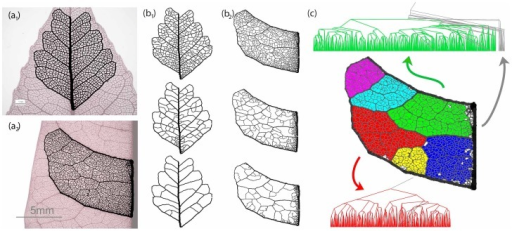 Hierarchical decomposition and segmentation of two dicotyledonous leaves.(a) Segments of digitized leaf vasculature. The image of the skeletonized leaf has been overlayed with the digitized portion of interest. (a1) Bursera tecomaca, (a2) Protium heptaphyllum. Images courtesy of Douglas Daly, New York Botanical Gardens. (b) Hierarchical decomposition of Bursera and Protium. (b1) Bursera, (b2) Protium. Top to bottom: remaining loops at three different, progressively higher thickness cutoffs. Notice the persistent minor loops at the proximity of the major veins. (c) Segmentation of Protium heptaphyllum and associated tree representation. The protium intercostal area area has been separated to six color-coded sectors, as identified by hierarchical decomposition. The associated tree representation for that sector is shown for the green and red sector. The non-colored (white) areas of the graph and associated gray links on the tree representation correspond to high asymmetry nodes of the tree representation. Note how the high asymmetry areas are concentrated near major leaf veins.