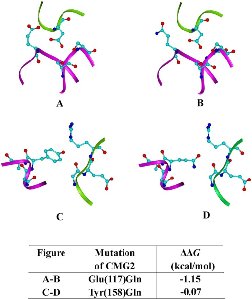 Predicted structures for designed mutations; green ribbon, PA backbone; magenta ribbon, CMG2 backbone.Carbon atom, cyan; Nitrogen atom, blue; Oxygen atom, red. Mutation of CMG2 117 Glu to Gln is shown in (A) and (B), residues 117, 52, 54 and PA 683 are highlighted as sticks and balls. (C) and (D) indicate CMG2 158Tyr to Gln, position 158 of CMG2 and residues 342–344 of PA are highlighted as sticks and balls. Binding energies are given beneath.