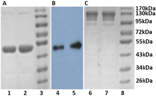 The purified CMG2-Fc mutants were analyzed by 10% SDS-PAGE under reducing conditions (A, B) or non-reducing conditions (C).Gels were visualized by Coomassie blue staining (A, C) or subjected to western blotting with a mouse anti-CMG2 antibody (B). Lanes 1, 4 and 6: CMG2-Fc (Y158Q); lanes 2, 5 and 7: CMG2-Fc (E117Q); lanes 3 and 8: protein marker.