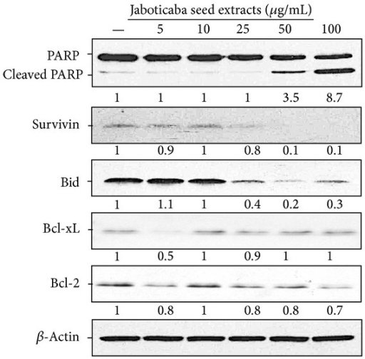 Effects of jaboticaba seed water extract on apoptosis regulatory proteins in HSC-3 cells. HSC-3 cells were treated with 5, 10, 25, 50, and 100 μg/ml of jaboticaba seed extract or ddH2O as a control for 48 h, and then total proteins were isolated. Equal amounts of cell lysates were analyzed for PARP, survivin, Bid, Bcl-xL, and Bcl-2 expression by Western blotting with corresponding antibodies. β-actin served as the loading control. The fold change was calculated as the ratio of the target proteins in the presence of indicated concentration of Jaboticaba seed extract after normalization of the target proteins to β-actin in each lane.