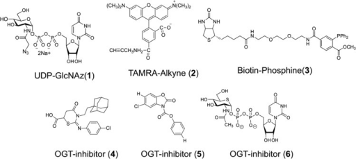 Structuresof chemical compounds used in Ni-NTA Plate OGT Assays:UDP-GlcNAz (1), TAMRA-Alkyne (2), Biotin-Phosphine(3), and OGT inhibitors (4–6).