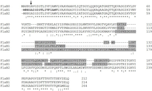 Sequence alignment of the three P. furiosus flagellins. Amino acid identities for the three proteins are indicated by asterisks (*); conservative amino acid exchanges are indicated by colons (:), and semi-conservative amino acid exchanges are indicated by dots (.). The arrow shows the signal peptidase processing site. Bold ladders represent the FlaB1 sequence correction resulting from the resequencing performed in this study. Regions indicated by gray sequences identify the least conserved central part of the proteins used to raise flagellin-specific antibodies (primers used for cloning are given in Materials and Methods).