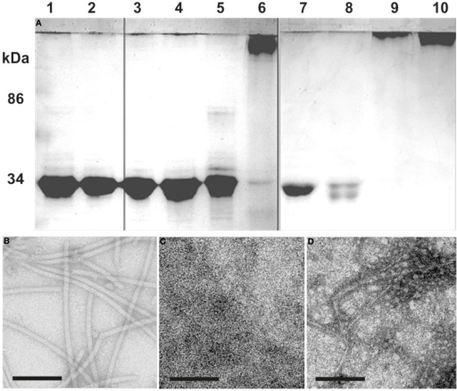 Repolymerization of denatured flagella. (A) SDS-PAGE: Flagella purified by CsCl-gradient centrifugation were denatured into monomeric flagellins by SDS and heat denaturation (lane 1). After extensive dialysis against 5 mM HEPES buffer only single flagellins were observed (lane 2). The denatured flagellins were used for polymerization assays at: 8°C (lanes 3 and 7), 37°C (lanes 4 and 8), 60°C (lanes 5 and 9), and 90°C (lanes 6 and 10). Analysis was done after 1 (lane 3–6) or 6 days (lane 7–10) of incubation. (B–D) show TEM analyses of: (B) the flagella preparation; (C) denatured flagellins (lane 2); (D) the result from a 90°C repolymerization after 1 day (lane 6). Size bars are 100 nm, each.