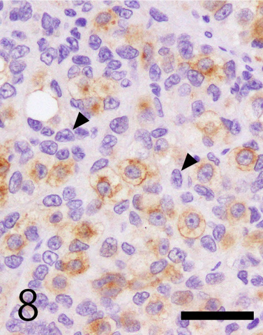 Immunohistochemistry of c-kit. Germ cells were membranous positive for c-kit in the cytoplasm. Sertoli cells were negative for c-kit (arrowheads). Bar=50 µm.
