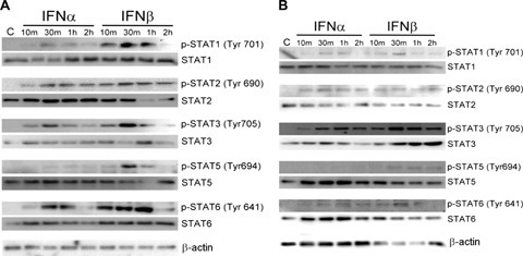 STAT6 is tyrosine phosphorylated in response to IFNα and IFNβ in HuH7 and Hep3B cells. (A and B) IFN-α and IFN-β were able to activate STAT1, STAT2, STAT3, STAT5 and STAT6 in HuH7 (A) and Hep3B (B) cells. HuH7 and Hep3B cells were either unstimulated or stimulated with 400 IU/ml IFNα or IFNβ for the indicated time. 20μg cell extracts were resolved by 7.5% SDS-PAGE, and analysed by Western blotting using phosphoprotein specific antibodies (p-STAT1, p-STAT2, p-STAT3, p-STAT5, p-STAT6). The blot was later stripped and re-probed with STAT1, STAT2, STAT3, STAT5, STAT6 and βactin antibodies to ensure equal loading of the cell extracts. (C and D) STAT6 activation exhibited similar kinetic patterns as STAT1 in IFN-α or β treated HuH7 (C) and Hep3B (D) cells. The amount of activated STAT1 and STAT6 of HuH7 (C) and Hep3B (D) cells treated with 400 IU/ml IFNα or IFNβ was quantified and the results are expressed in relative expression level over basal; the results are represented as the mean±S.D. for three repetitions. Asterisks indicate the calculated P values for paired comparisons between IFNα and IFNβ at various times; all were < 0.05.