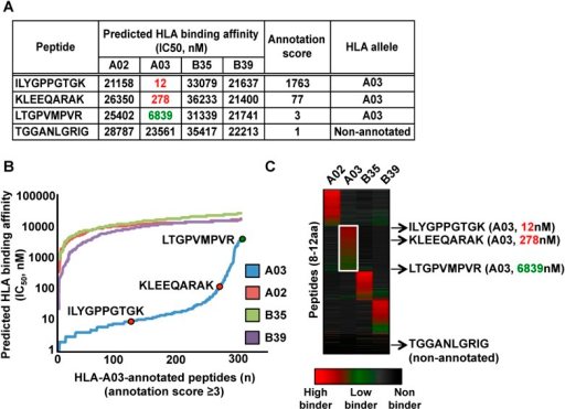 Automated NetMHC-based method for annotating and visualizing HLA allele-specific peptides.PBMC#2 was typed positive for HLA-A02, -A03, -B35, -B39, and is shown here as a representative sample. (A) The stand-alone software package of the HLA binding prediction algorithm NetMHC 3.4 was used to predict the binding affinity of all identified peptides to HLA-A02, -A03, -B35 and -B39 (four peptides are shown for simplicity). For each peptide, an annotation score was calculated by dividing the second lowest IC50 value (second best predicted allele) by the lowest IC50 value (best predicted allele). Peptides with a score ≥3 were annotated to the HLA allele predicted to bind best. Peptides with a score below 3 were considered as non-annotated. Non-annotated peptides were curated in the output files in Figure 2—source data 2 and correspond to 1) non-HLA peptides/contaminants, 2) peptides predicted to strongly bind more than one HLA allele (supertype peptides), 3) peptides predicted to bind HLA-C alleles, 4) exceptional HLA peptides with no known binding motifs. Annotation scores of all eluted peptides are shown in Figure 2—source data 2. Additional information is provided in Supplementary file 1. (B) Curves showing the distribution of the predicted HLA binding affinities for all HLA-A03-annotated peptides with a score ≥3. Overall, 91% of all HLA-A03-annotated peptides are predicted to have a binding affinity below 500 nM for the HLA-A03 molecule (see also Figure 2—figure supplement 4 and Figure 2—figure supplement 5). The same peptides are predicted to be non-binders for the other alleles – i.e., HLA-A02, -B35 and -B39. (C) Heat map visualization following clustering of predicted HLA binding affinity values. The white box highlights HLA-A03-annotated peptides. The four peptides in the table in (a) are indicated by arrows and their respective predicted binding affinity for the HLA-A03 molecule is indicated in parenthesis.DOI:http://dx.doi.org/10.7554/eLife.07661.014